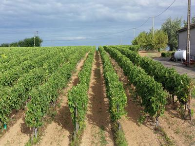 Vineyard in Cognac AOC - Petite Champagne - 25 hectares - Great opportunity !