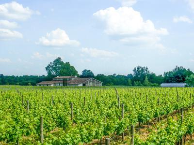 vineyardin ST MARTIN DU BOIS