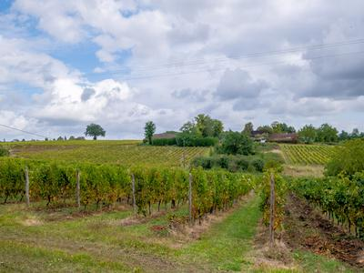 vineyardin BERGERAC
